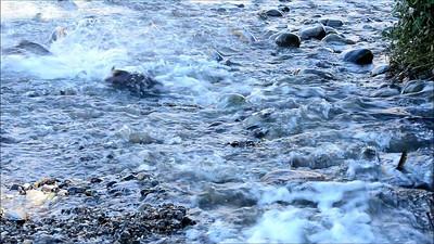 Chinook Salmon near the Nimbus Fish Hatchery, Sacramento County, CA. 11-13-2013.