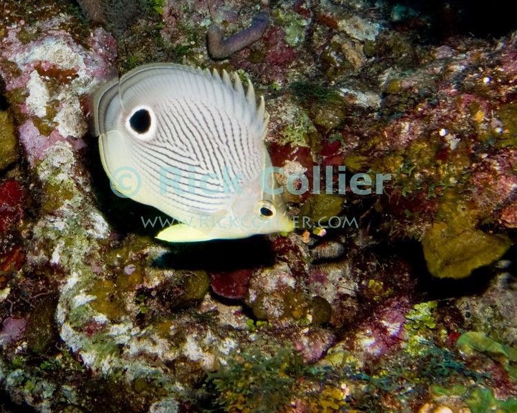 "A Foureye Butterflyfish cruises past the reef.  This small reef fish is common all over the Caribbean.  Taken while scuba diving the ""Sponges"" dive site of Roatan, Honduras.  © Rick Collier"