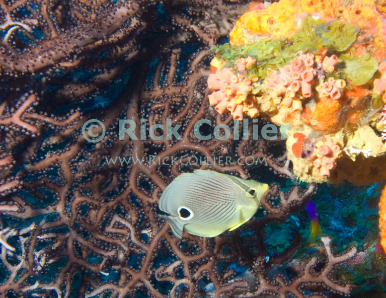 "Saba Underwater -- This seems like the ""perfect"" photo from a Caribbean scuba dive.  A beautiful tropical fish (foureye butterflyfish) investigates a colorful coral outcropping on the reef, sheltered from current by a black coral fan.  © Rick Collier"