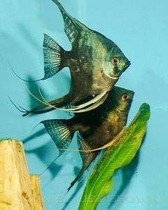 Philippine Blue/ Pinoy Smokey Angelfish pair with eggs, 9-26-11. Cropped image. My fish