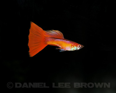 Male Red Guppy from Charles Pratt, via the Sacramento Aquarium Societies monthly auction, 8-6-11. Cropped image. My fish