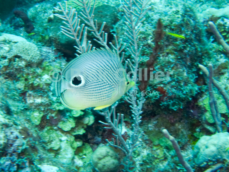 "A foureye butterflyfish.  St. Eustatius (Statia), Netherlands Antilles.<br /> <br /> <br /> <br /> <br /> ""St. Eustatius"" ""Saint Eustatius"" Statia Netherlands Antilles ""Lesser Antilles"" Caribbean underwater diving ocean SCUBA dive reef sand bottom sandy sea floor sea bed coral fish foureye butterflyfish four-eye butterfly ""butterfly fish"""