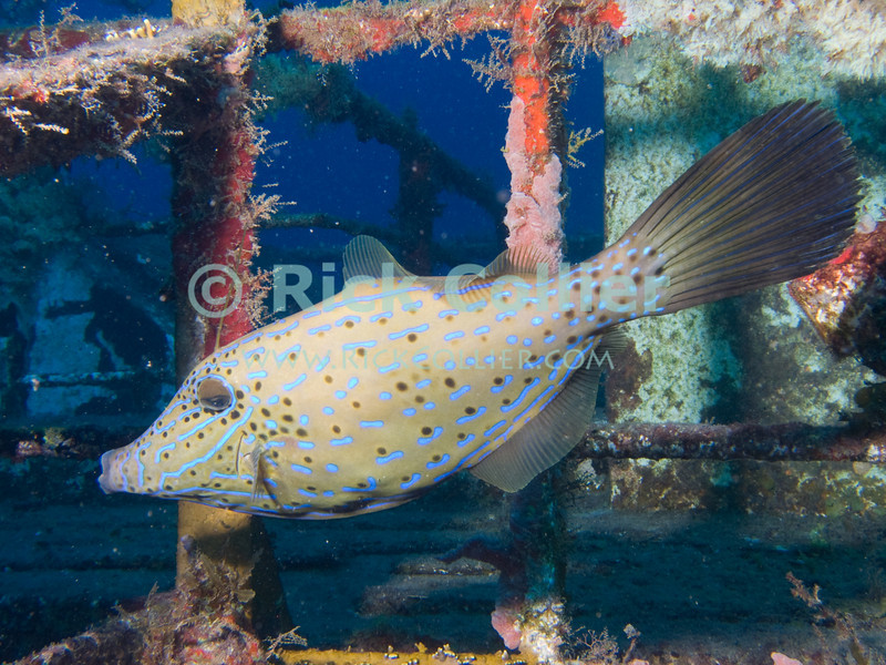 St. Eustatius (Statia) Underwater - When scuba diving on the Chien Tong shipwreck, you can always find this scrawled filefish around the rails of the sunken ship.  © Rick Collier