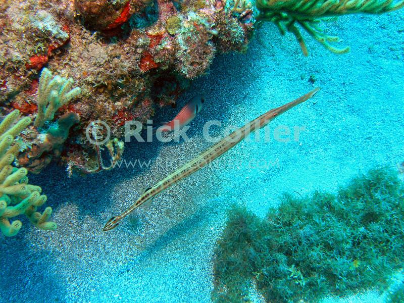 "Trumpetfish near reef.  St. Eustatius (Statia), Netherlands Antilles.<br /> <br /> <br /> <br /> <br /> ""St. Eustatius"" ""Saint Eustatius"" Netherlands Antilles ""Lesser Antilles"" Statia underwater SCUBA dive reef fish sand bottom trumpetfish"