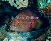 "Red Sea, Egypt -- A colorful Red Sea coral grouper looks out from a hiding-hole. © Rick Collier / RickCollier.com.<br /> <br /> <br /> <br /> Egypt; ""Red Sea""; vacation; travel; destination; underwater; uw; ""u/w""; scuba; ""scuba dive""; ""scuba diving""; dive; diving; coral; reef; ""coral reef""; ""dive site""; Tiran; ""Tiran straits""; ""straits of Tiran""; Woodhouse; ""Woodhouse Reef""; fish; grouper; ""coral grouper""; ""Red Sea coral grouper""; ""moon grouper""; ""Red Sea moon grouper"""