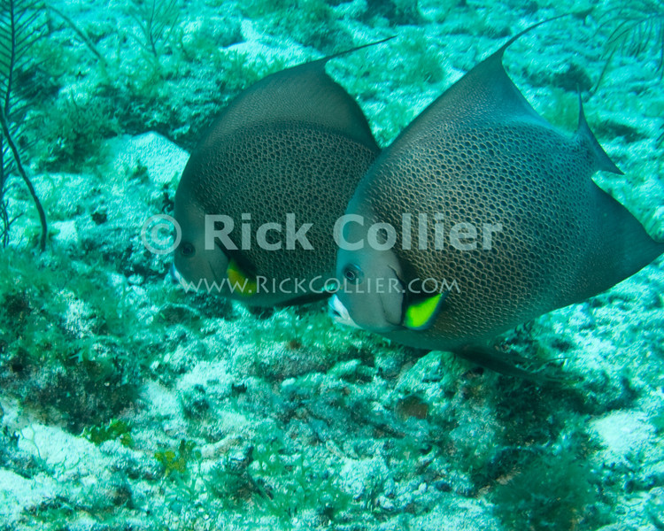 "A pair of large fish -- Gray Angelfish -- cruise the reef.  Frequently seen in pairs, these large fish are common all over the Caribbean.  Taken while scuba diving the ""Chasbo's Corner"" dive site at Turneffe Atoll, Belize.  © Rick Collier"