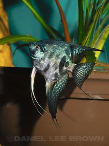 Pinoy Clown Angelfish, 9-30-11.  Purchased from Damon Cartmell. My fish
