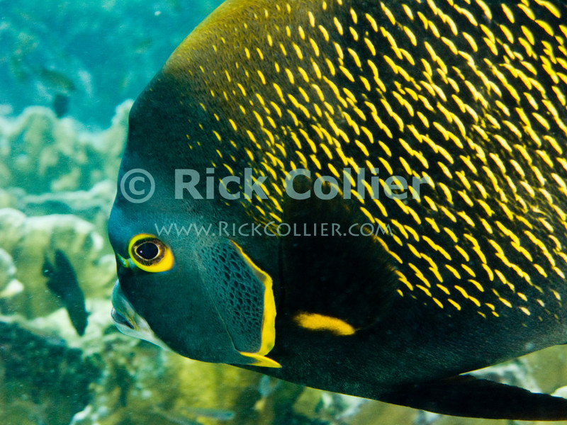 "Diving Bonaire, Netherland Antilles -- French angelfish.  (""Andrea 1"" dive site)  © Rick Collier<br /> <br /> <br /> <br /> <br /> Bonaire; ""Netherlands Antilles""; Caribbean; tropic; tropical; vacation; destination; scuba; diving; dive; ""scuba diving""; ""Andrea 1""; ""Andrea I""; coral; reef; fish; angelfish; ""French angelfish""; ""French Angel Fish"";"