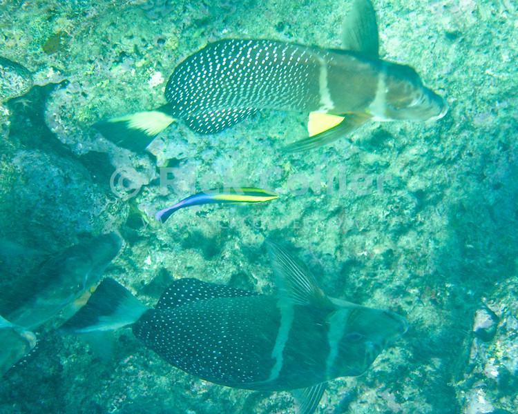 Two batfish compete for the attentions of a Hawaiian cleaner wrasse.  Hanauma Bay, Oahu, Hawaii.<br /> <br /> <br /> <br /> <br /> <br /> Hawai'i Hawaii Oahu Hanauma Bay underwater u/w fish Hawaiian cleaner wrasse reef coral batfish