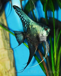 Philippine Blue/ Pinoy Smokey Angelfish, dollar size 9-8-11. Purchased from Damon Cartmell. My fish
