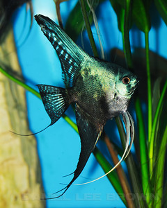 Philippine Blue/ Pinoy Smokey Angelfish, dollar size 9-8-11. Purchased from Damon Cartmell. My fish