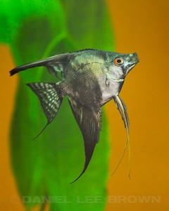 Philippine Blue/ Pinoy Smokey Angelfish, quarter size. Purchased from Damon Cartmell, 7-23-11. My fish
