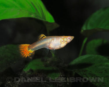 Female Red Guppy from Charles Pratt, via the Sacramento Aquarium Societies monthly auction, 8-6-11. Cropped image. My fish