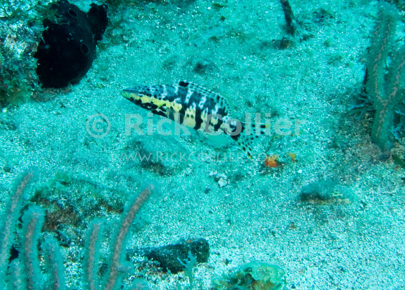 St. Eustatius (Statia) Underwater - This type of small fish (harlequin bass) is commonly seen when scuba diving any area of mixed corals and sandy bottom.  © Rick Collier