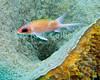 "A squirrelfish ""hides"" inside a barrel sponge.  St. Eustatius (Statia), Netherlands Antilles.<br /> <br /> <br /> <br /> <br /> ""St. Eustatius"" ""Saint Eustatius"" Statia Netherlands Antilles ""Lesser Antilles"" Caribbean underwater diving ocean SCUBA dive diver reef barrel sponge squirrelfish"