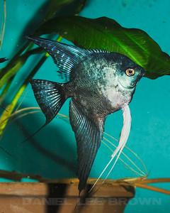 Philippine Blue/ Pinoy Smokey, 9-30-11. Cropped image. My fish