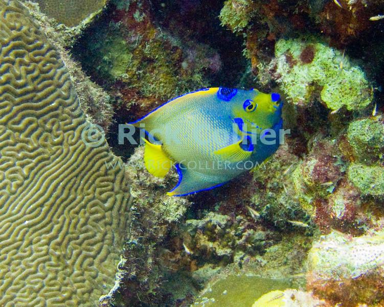 """Diving Bonaire, Netherland Antilles -- A queen angelfish. (""""Ol' Blue"""" dive site)   © Rick Collier<br /> <br /> <br /> <br /> <br /> Bonaire; """"Netherlands Antilles""""; Caribbean; tropic; tropical; vacation; destination; scuba; dive; diving; underwater; """"scuba dive""""; """"scuba diving""""; """"Ol' Blue""""; fish; angelfish; """"angel fish""""; """"queen angelfish""""; """"queen angel fish"""";"""