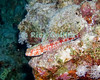 Red Sea, Dahab, Egypt.  A colorful lizardfish hides by resting motionless atop a reef outcropping.  © Rick Collier<br /> <br /> <br /> <br /> <br /> <br /> scuba diver divers Egypt 'Red Sea' 'Ras Mohammed' Sharm 'Sharm el-Sheikh' 'Sharm al-Shaykh' Dahab underwater u/w coral reef lizardfish
