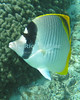 A lined butterflyfish comes in close to check out the fish reflected in the camera lens.  Kahaluu Bay, the Big Island, Hawai'i.<br /> <br /> <br /> <br /> <br /> <br /> <br /> <br /> Hawai'i Hawaii Big Island Kona Kahaluu Bay butterfly fish butterflyfish underwater u/w scuba snorkel snorkeling reef coral