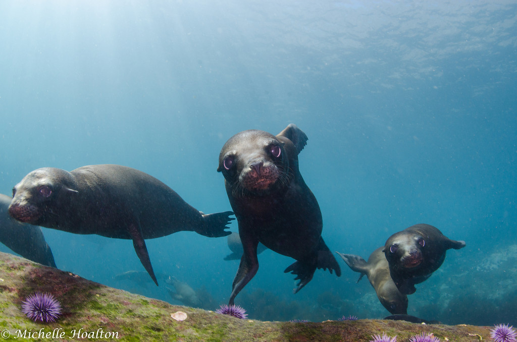A gang of juvenile sea lions coming over to play off of the Coronado Islands in Mexican waters just south of San Diego.