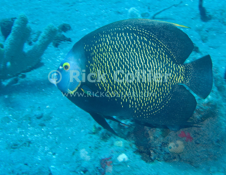 Saba Underwater - A scuba dive in the Caribbean always offers a chance to see large tropical fish.  Here a French angelfish cruises past.  © Rick Collier