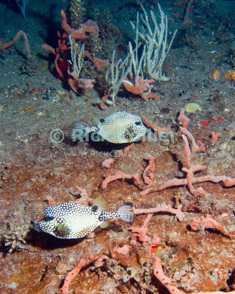 "A pair of boxfish move stay near the deck of a sunken barge at night.  St. Eustatius (Statia), Netherlands Antilles.<br /> <br /> <br /> <br /> <br /> ""St. Eustatius"" ""Saint Eustatius"" Statia Netherlands Antilles ""Lesser Antilles"" Caribbean SCUBA dive diver sea bottom sea floor sand wreck shipwreck sunken ship fish boxfish ""box fish"" night"