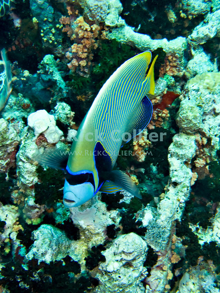 "Red Sea, Egypt -- An Emperor Angelfish approaches the photographer at Jackson Reef.  The emperor angelfish is relatively common in the Red Sea, but normally is very shy and will not approach divers.  In this case there was a turtle digging food out of corals nearby.  The promise of food seems to have overcome this angelfish's shyness. © Rick Collier / RickCollier.com.<br /> <br /> <br /> <br /> <br /> <br /> <br /> <br /> Egypt; ""Red Sea""; vacation; travel; destination; underwater; uw; ""u/w""; scuba; ""scuba dive""; ""scuba diving""; dive; diving; coral; reef; ""coral reef""; ""dive site""; Tiran; ""Tiran straits""; ""straits of Tiran""; ""Jackson Reef""; fish; angelfish; ""angel fish""; ""emperor angelfish"""