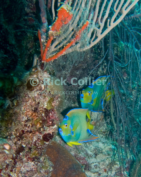"A pair of one of the Caribbean's most beautiful fishes -- Queen Angelfish -- cruise the reef.  Taken while scuba diving the ""Tunnels and Barrels"" dive site at Turneffe Atoll, Belize.   © Rick Collier"
