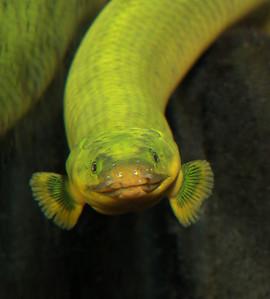 Ropefish My fish