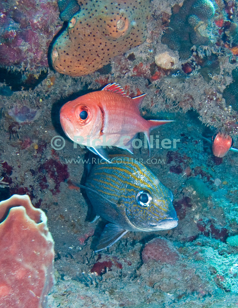 Saba Underwater - Two very common Caribbean tropical reef fishes (a black bar soldier fish and a caesar grunt) shelter together, each apparently watching a different direction -- and both no doubt looking for ways to escape the passing scuba diver.  © Rick Collier
