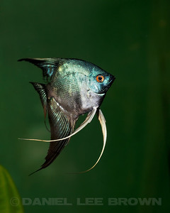 Philippine Blue/ Pinoy Smokey Angelfish, dollar size. Purchased from Damon Cartmell, 8-1-11. My fish