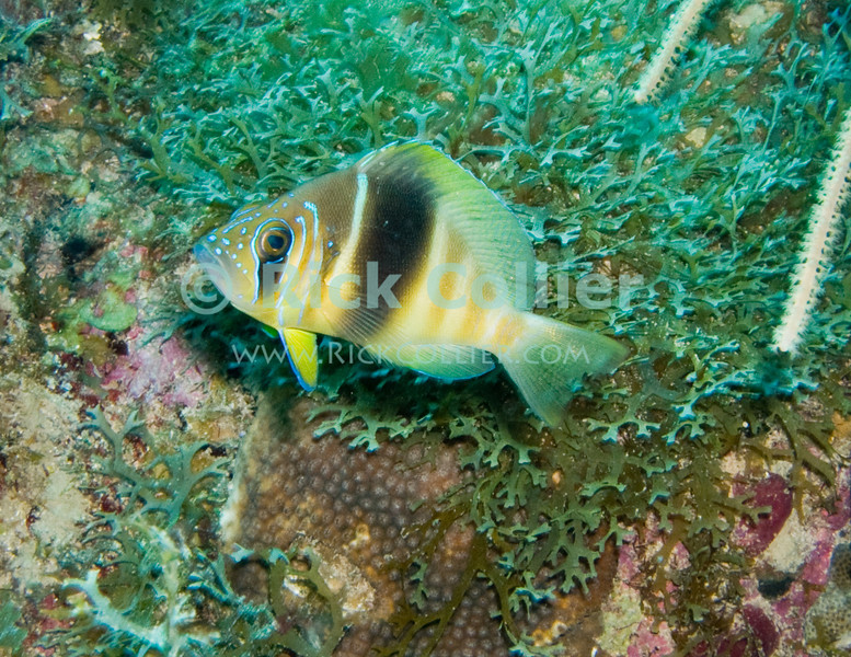 St. Eustatius (Statia) Underwater - This type of small tropical fish (barred hamlet) is common but very shy, and commonly found on the Caribbean reefs.  © Rick Collier