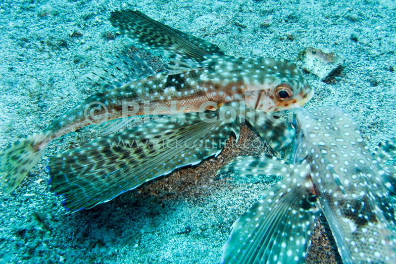 "The flying gurnard fish crawls along the bottom using lower fins and eats small prey on the bottom.  The gurnard spreads its 'wings' when startled or alarmed.  St. Eustatius (Statia), Netherlands Antilles.<br /> <br /> <br /> <br /> <br /> ""St. Eustatius"" ""Saint Eustatius"" Statia Netherlands Antilles ""Lesser Antilles"" Caribbean underwater diving ocean SCUBA dive sand bottom sea floor fish flying gurnard"
