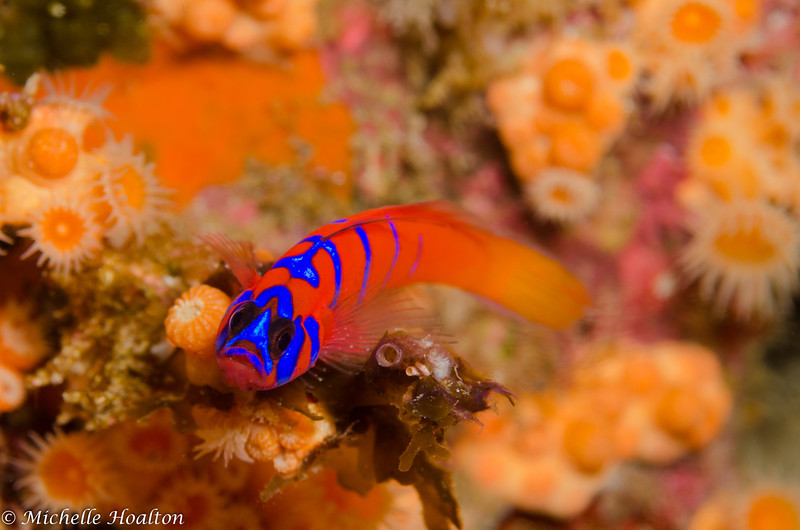 A miniscule blue-banded goby resting still on the reef.