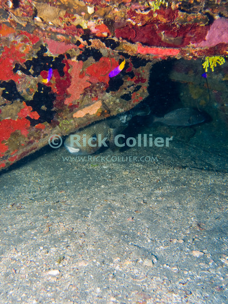 "A porcupinefish peers curiously out from under a sunken barge.  St. Eustatius (Statia), Netherlands Antilles.<br /> <br /> <br /> <br /> <br /> ""St. Eustatius"" ""Saint Eustatius"" Statia Netherlands Antilles ""Lesser Antilles"" Caribbean underwater diving ocean SCUBA dive porcupinefish ""porcupine fish"" sunken barge wreck"