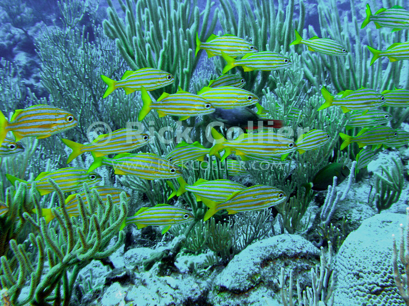 "A school of grunts swims across a reef.  St. Eustatius (Statia), Netherlands Antilles.<br /> <br /> <br /> <br /> <br /> ""St. Eustatius"" ""Saint Eustatius"" Statia Netherlands Antilles ""Lesser Antilles"" underwater ocean SCUBA dive reef coral soft corals fish French grunt grunts"