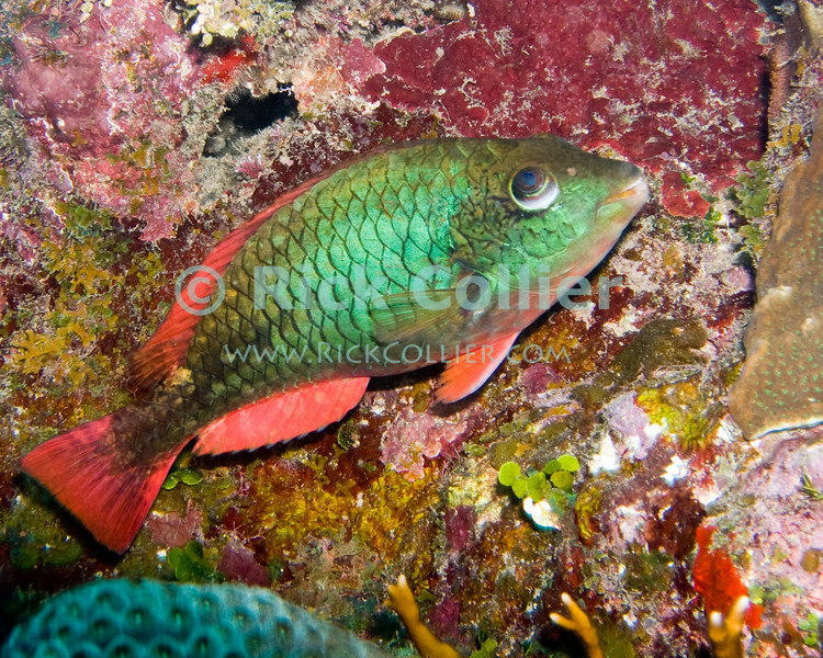 "Stoplight Parrotfish.  This very common Caribbean reef fish is named for its distinctive green and red coloration.  Taken while scuba diving the ""Labyrinth"" dive site of Roatan, Honduras.  © Rick Collier"