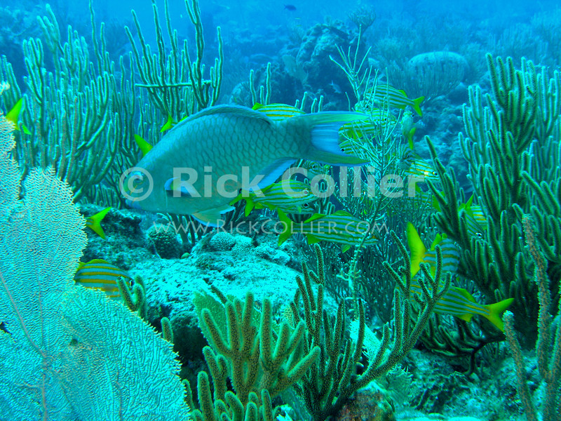 "A large parrotfish and school of French grunts among soft and hard corals atop a reef.  St. Eustatius (Statia), Netherlands Antilles.<br /> <br /> <br /> <br /> <br /> ""St. Eustatius"" ""Saint Eustatius"" Statia Netherlands Antilles ""Lesser Antilles"" underwater ocean SCUBA dive reef coral soft corals fish parrotfish grunts"