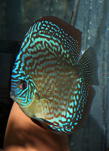Red Turqouise Discus male My fish