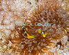Red Sea, Dahab, Egypt.  Red Sea anemonefish (also known popularly as clownfish) emerge to protect the anemone that is their home on the reef.  © Rick Collier<br /> <br /> <br /> <br /> <br /> <br /> scuba diver divers Egypt 'Red Sea' 'Ras Mohammed' Dahab Sharm 'Sharm el-Sheikh' 'Sharm al-Shaykh' underwater u/w coral reef anemone fish anemonefish clownfish