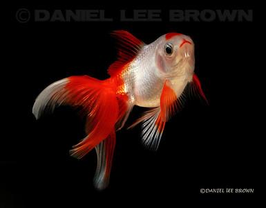 Fantail Goldfish My fish