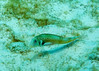 "Diving Bonaire, Netherland Antilles -- These fish (?razorfish?) are common on sandy bottoms, but not usually caught in the open.  Frequently the diver is only aware of them as wisps of quick movement followed by a puff of sand as the fish dives to hide in the sand.  (""The Invisibles"" dive site)  © Rick Collier<br /> <br /> <br /> <br /> <br /> <br /> Bonaire; ""Netherlands Antilles""; Caribbean; tropic; tropical; vacation; destination; underwater; scuba; diving; dive; ""scuba diving""; bottom; beach; sand; fish; filefish; burrow; ocean; bottom; ""ocean bottom""; ""sandy bottom""; invisibles; ""the invisibles"";"