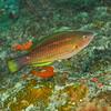 Princess Parrotfish - Juvenile