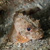 MushroomScorpionfish-P8081975-Edit