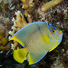 Angelfish-juvenile_DSC4932-Edit