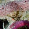 SpongeCrab-_DSC5099-Edit