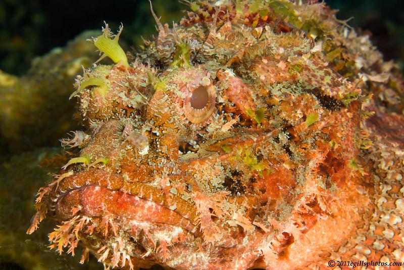 ScorpionFish_MG_9799-Edit
