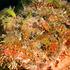 ScorpionFish_MG_9799-Edit