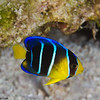 BlueAngelfish-juvenile_MG_0021-Edit