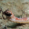 BobbitWorm-P8092188-Edit